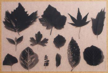 Herbier Translucide Noir. <BR><I>Herbier Clear Black.</I>